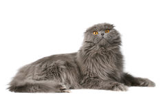 Fluffy cat Royalty Free Stock Images