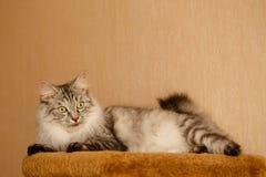 Free Fluffy Cat Royalty Free Stock Photo - 99332175