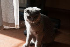 Fluffy cat in the backlight. Fluffy grey cat is illuminated from behind Stock Photos