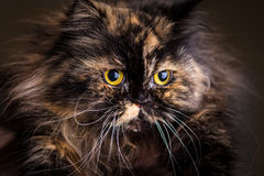 Fluffy cat. Beautiful fluffy cat portrait. Funny animal photography Stock Photos