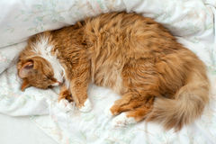 Fluffy cat in bed Stock Photos