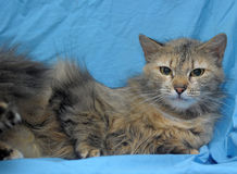 Fluffy cat on a blue background Stock Image