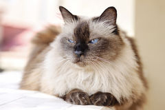 Fluffy cat with blue eyes stock photography