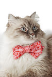 Fluffy cat with bow-tie on the white background Royalty Free Stock Images