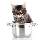 Fluffy cat with brown eyes in a pan. Royalty Free Stock Image