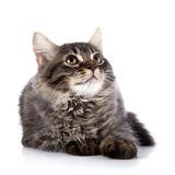 Fluffy cat with brown eyes. Stock Image