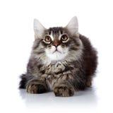Fluffy cat. Stock Image