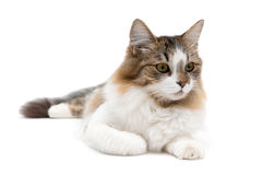Fluffy cat close up lying on a white background Stock Photos