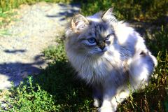 Fluffy cat of coffee color royalty free stock photos