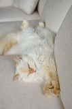 Fluffy cat comfortable on white couch Stock Photography