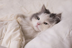 Fluffy cat dozing in bed Royalty Free Stock Photography