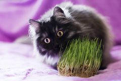 Cat eats grass Royalty Free Stock Image