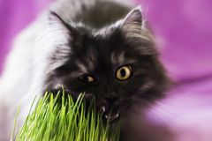 Cat eats grass Stock Image