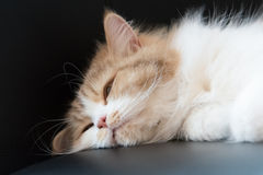 Fluffy cat falling asleep Stock Photography