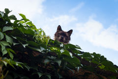 Fluffy cat gazes from rooftop Royalty Free Stock Photography