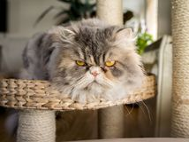 Fluffy cat. A fluffy cat gazing to you Royalty Free Stock Images