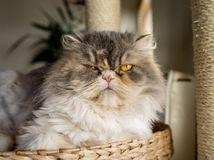 Fluffy cat. A fluffy cat gazing to you Stock Images