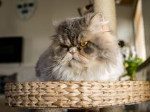 Fluffy cat. A fluffy cat gazing to you Stock Photography