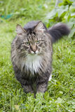Fluffy cat on the grass Royalty Free Stock Photos