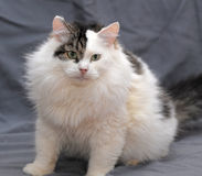 Fluffy cat on a gray background royalty free stock photography