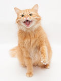 Fluffy cat with green eyes hisses aggressively, raising his paw Royalty Free Stock Image