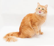 Fluffy cat with green eyes licked sitting Royalty Free Stock Images
