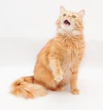 Fluffy cat with green eyes meows loudly, opened his mouth Royalty Free Stock Photos