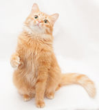 Fluffy cat with green eyes plays, lifting the front paw Royalty Free Stock Photos