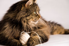 Fluffy cat is holding a rope Royalty Free Stock Image