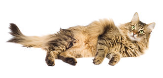Fluffy cat laying isolated Stock Photo