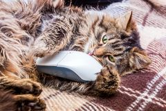 A fluffy cat lays by putting a paw on a computer mouse. Cat and computer_ royalty free stock photography