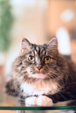 Fluffy cat lie and look at camera over home background, vertical Stock Photos