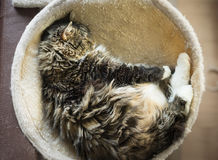 Fluffy cat lie in round hammock Royalty Free Stock Images