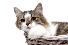 Fluffy cat lies in a basket Royalty Free Stock Image