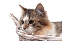 Fluffy cat lies in a basket on a white background Royalty Free Stock Image
