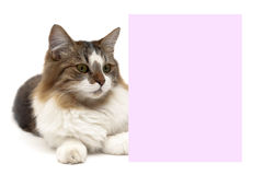 Fluffy cat lies behind a banner on a white background Royalty Free Stock Image