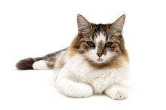 Fluffy cat lies on a white background close-up Royalty Free Stock Photography
