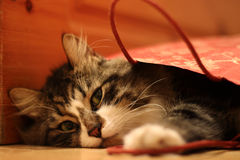 Fluffy cat looked up from gift-wrapping red bag Royalty Free Stock Photography