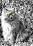 Fluffy cat looking away. Close black and white shot of a gray cat posing in front of a fence looking away with yellow eyes Royalty Free Stock Photo