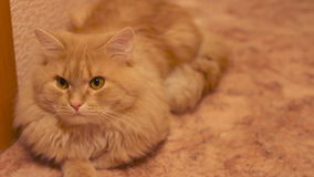 A fluffy cat looking at the camera stock video