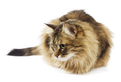 Fluffy cat looking. Isolated Royalty Free Stock Images