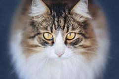 Fluffy cat looks at the camera. Fluffy cat looks you in the eye Stock Photo