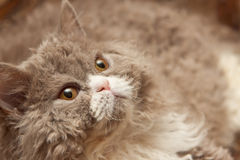 Fluffy cat looks up Royalty Free Stock Image