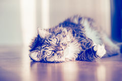 Fluffy cat lying on the parquet floor and looking at the camera Stock Image