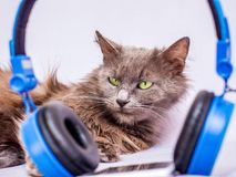 Fluffy cat near the headphones. Listen to your favorite music us. Ing your phone and headphones royalty free stock photography