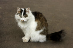 Fluffy cat on the pavement. Royalty Free Stock Photos