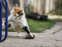 Fluffy cat playing with a caught mouse running around and tossin Royalty Free Stock Photos