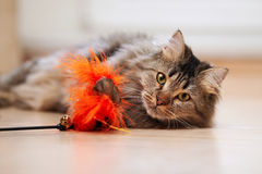 The fluffy cat plays with a toy. Portrait of a fluffy striped cat. Striped not purebred kitten. Small predator. Small cat Stock Photos