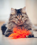 The fluffy cat plays with a toy. The fluffy striped domestic cat plays with a toy Royalty Free Stock Photos