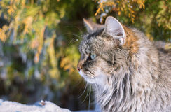 Fluffy cat portrait. Portrait of beautiful fluffy cat Royalty Free Stock Image